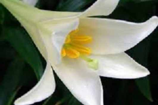 bibit easter lily